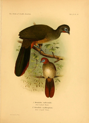 004- Guacharaca culiroja-The birds of South America 1912