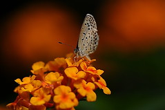 Lantana (naruo0720) Tags: plant flower macro nature closeup bug insect nikon bokeh lantana soe d300 lycaenidae   fantasticflower abigfave  platinumphoto ultimateshot theunforgettablepictures