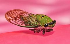 Cicada on Pink (Jeff Clow) Tags: pink macro closeup cicada bravo raw texas dfw canon500d 1exp jeffrclow