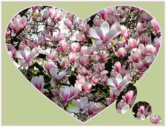 Mogelpackung. (Dieter14 u.Anjalie157) Tags: rosa lila mai gelsenkirchen abendrot digi magnolien frhjahr muttertag allerlei stimmungen lieblingsfoto batelarbeiten anjalie157 bumevordemaltersheim bltenreigen fotomssig