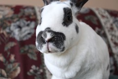 Spice died a year ago yesterday, Rest in peace (ohjillo) Tags: rabbit bunny spice dewlap minirex