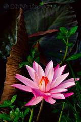 Pink (T   J ) Tags: pink flower indonesia nikkor soe d300 abigfave teeje platinumphoto