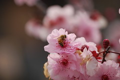 Bee on Cherry Blossom (RuggyBearLA) Tags: flickr chinatown meetup laphotocontest09 ruggybearphotography