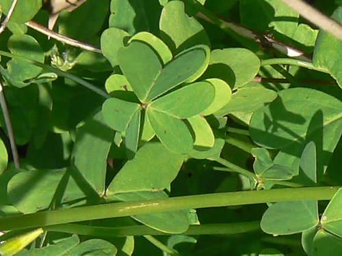 hojas de Oxalis
