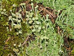 Cladonia fimbriata 'Trumpet Lichen' (dougwaylett) Tags: wild canada calgary native alberta cladonia fruticoselichen fishcreekprovincialpark cladoniafimbriata bebogrove trumpetlichen