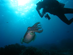 Cuttlefish and Diver in a Face-Off