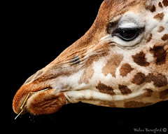 I've always looked up to giraffes... (Helen Beresford) Tags: closeup neck mammal profile tall giraffe chesterzoo potofgold giraffehead theunforgettablepictures herbertfacetoface