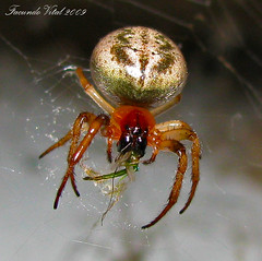Spider at Dinner (Facu551) Tags: naturaleza macro nature argentina argentine dinner canon spider eating powershot eat cordoba comer araa crdoba cena comiendo cruzadas sx100 a3b 6retos6 beautifulmonsters