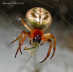 Spider at Dinner (Facu551) Tags: naturaleza macro nature argentina argentine dinner canon spider eating powershot eat cordoba comer araa crdoba cena comiendo cruzadas sx100 a3b 6retos6 beautifulmonsters