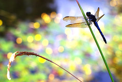 Dragonfly (Rebecca Nathan) Tags: dragonfly