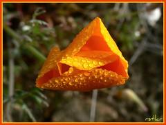 orange with dew (rstlcr) Tags: orange flower wet closeup drops close dew otw colorphotoaward