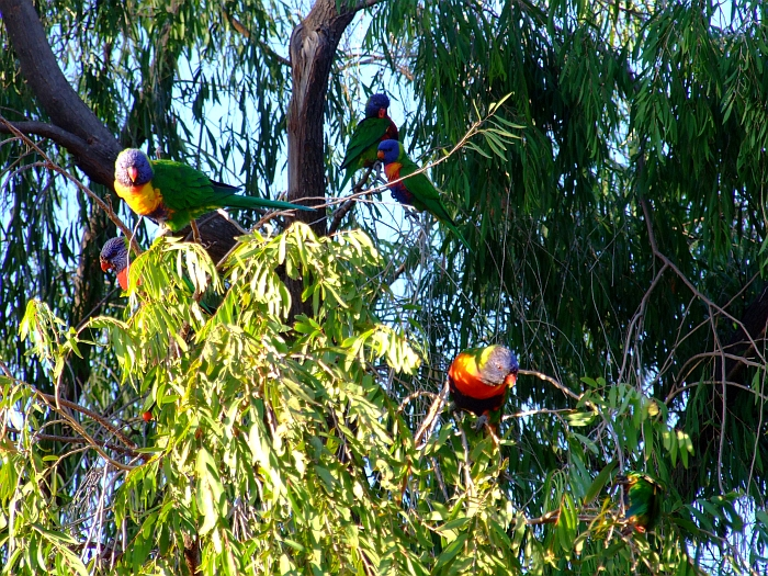 how many lorikeets