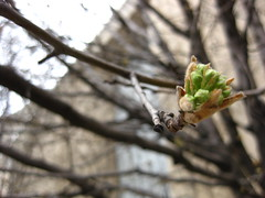 Bradford Pear Tree Bud