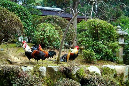 Gallos en el isonokamijingu