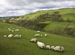 St. Patrick's Flock (Canadapt) Tags: green grass clouds landscape countryside sheep country farmland pastoral stpatricksday youvsthebest platinumheartaward goldstaraward canadapt thepinnaclehof