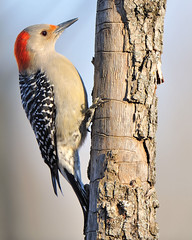 Red-bellied Woodpecker (JRIDLEY1) Tags: blue sky white tree woodpecker redbelliedwoodpecker picapau naturesfinest zenfolio mywinners jridley1 jimridley photocontesttnc09 dailynaturetnc09 httpjimridleyzenfoliocom photocontesttnc10 lifetnc10 photocontesttnc11 photocontesttnc12