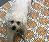 No, dirty dog prints do not enhance the design (Graustark) Tags: dog white fabric 1yearold dinky ratapoo ratterrierpoodlemix