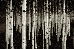 birches (duesentrieb) Tags: blackandwhite bw tree monochrome germany deutschland europa europe birch schwarzweiss baum wolfsburg birke tumblr