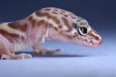 Western Banded Gecko (Coleonyx variegatus) (Mundo Poco) Tags: arizona canon desert reptile gecko sigma105mm eos450d westernbandedgecko coleonyxvariegatus rebelxsi vosplusbellesphotos