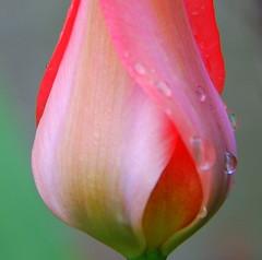 86/366-1.  Raindrops keep falling.... (roseyhadlow) Tags: tulip raindrops abigfave cherryontopphotography project36612009