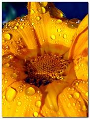 I Said Water The Plants Not Flood Them (ipsmith36still) Tags: macro yellow photoshop canon droplets leaf waterdrop bokeh petal bubble teardrop closeups raindrop cs4 gardenworld ixus980is