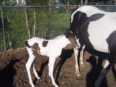 """""""MOON DANCER"""" Daughter of Cassels Danzel and New Moon Girl born 04/04/2009 (sylvester75117) Tags: horse caballo cheval texas arab edgewood mustang indianhorse cavalo pferd equine pinto paard paarden filly foal equino лошадь tobiano άλογο polisharabian mesteño americanindianhorse decoratedanimal aihr équin edgewoodtexas americanindianhorseregistry pferdeartig ίππειοσ"""
