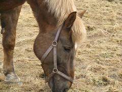 Ville (valonsa) Tags: horse hevonen