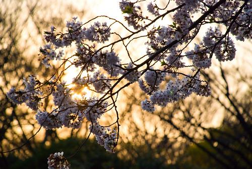 El blanco que cubre Yoyogi. Sakura (3)