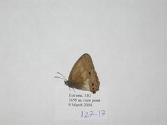Moneuptychia griseldis