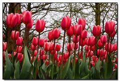 2009 Keukenhof - Tulips! (Hornplayer) Tags: flowers flower holland dutch tulips nederland thenetherlands tulip soe keukenhof tulpen tulp tulipes lisse naturesfinest blueribbonwinner outstandingshots shieldofexcellence anawesomeshot parcdekeukenhof
