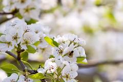 Bij in de perenbloesem (Arjan Almekinders) Tags: blossom boom bee pear bloesem peren bij bloem nederlandvandaag perenbloesem