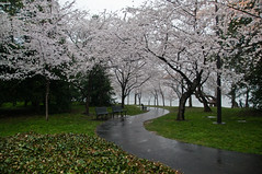 Cherry Tree Path (idashum) Tags: flowers trees flower tree nature water rain bench cherry landscape washingtondc dc nikon blossoms explore walkway sakura cherryblossoms cherrytrees tidalbasin d300 franklindelanorooseveltmemorial explored japanesecherrytrees