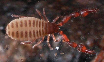 IntertidalPseudoscorpion1