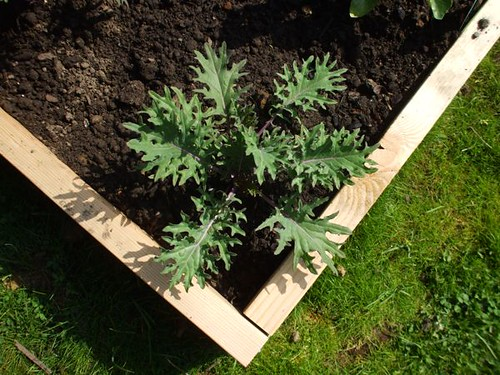 red russian kale growing happily