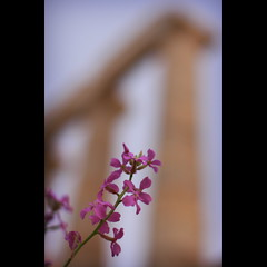 middle world: 123/365 (helen sotiriadis) Tags: flower canon greek temple published dof bokeh science athens depthoffield greece 365 sounion canonef50mmf14usm richarddawkins   poseidons canoneos40d middleworld    toomanytribbles