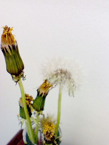 I was shocked to see the dandelion had gone to fluff from a closed position!
