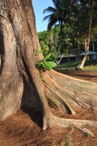 你拍攝的 老樹。