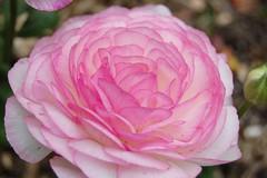 Ranunculus (S&J Inc.) Tags: plant flower spring buttercup blossom ranunculus bloom awsomeblossoms