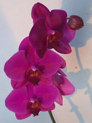 100_8190 (Tulay Emekli) Tags: pink flowers orchid backposted