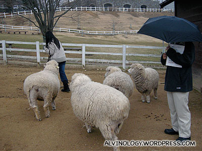Meiyen wants to play with the sheep, but is very scared of them at the same time