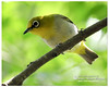 Oriental White-eye, {Zosterops palpebrosus}, A common resedent bird in Bangladesh