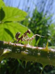 B.mendica (1) (mantidboy) Tags: life wild pet macro bug mantis insect wildlife thistle pray praying exotic prey mimic mantid preying mantids mendica blepharopsis notyournormalbug
