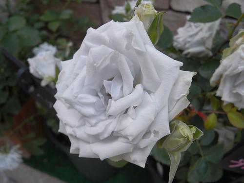霊山寺「バラ庭園」@奈良市-15