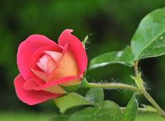 dal giardino della mamma... (paolo-55) Tags: nikon rosa d300 105mmvrmicronikkor