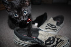 QB with my kitty sneakers II (Venessa Nina) Tags: new york city nyc boy rescue black cute male cat photography furry kitten funny boulevard blueeyes small young adorable kitty whiskers queens growth age qb stray meow nina fracture blvd injured abused brokenleg venessa fivefootmohawk venessaninaphotography