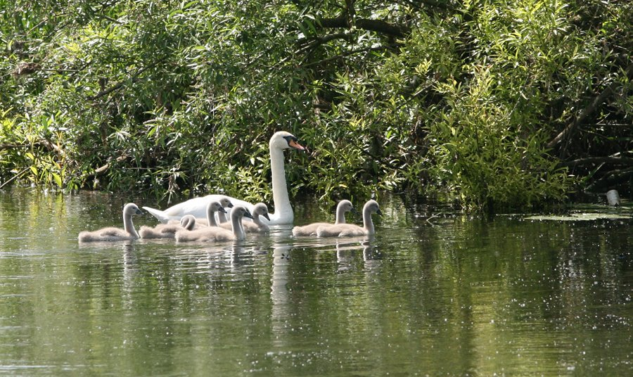 Mute Swan and nine cygnets