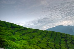 hdr tea (jasonlouphotography) Tags: nature sunrise cameronhighlands sgpalas