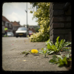 the street where I live ({as}photography) Tags: weeds dof bokeh pavement sidewalk mystreet garbageman d80 ttvtexturebymothtoflame shadesofyellowfriday