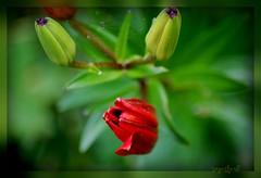 ~ before the rain ~ (together8) Tags: flower natur buds picnik oa bej abigfave nikond40 theperfectphotographer llovemypic natureselegantshots vosplusbellesphotos naturescreations together8 themonalisasmile imagesforthelittleprince weirenasfaves flickrunitedaward