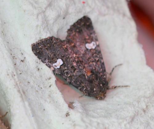 Dot Moth (Melanchra persicareae)
